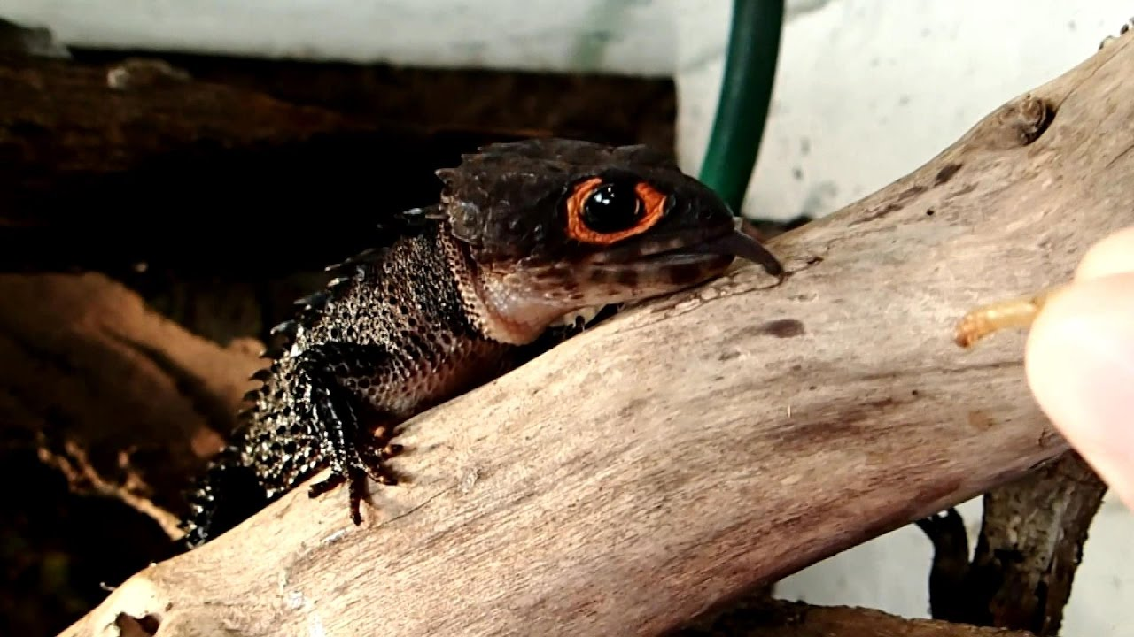What do crocodile skinks eat
