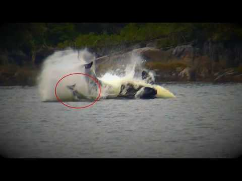 Orca's Hunting Dolphins At Duncanby Lodge Rivers Inlet