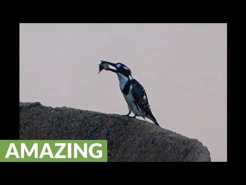 How Does A Kingfisher Bird Kill Its Prey?