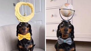 Sausage Dog Balances Stuff On Head