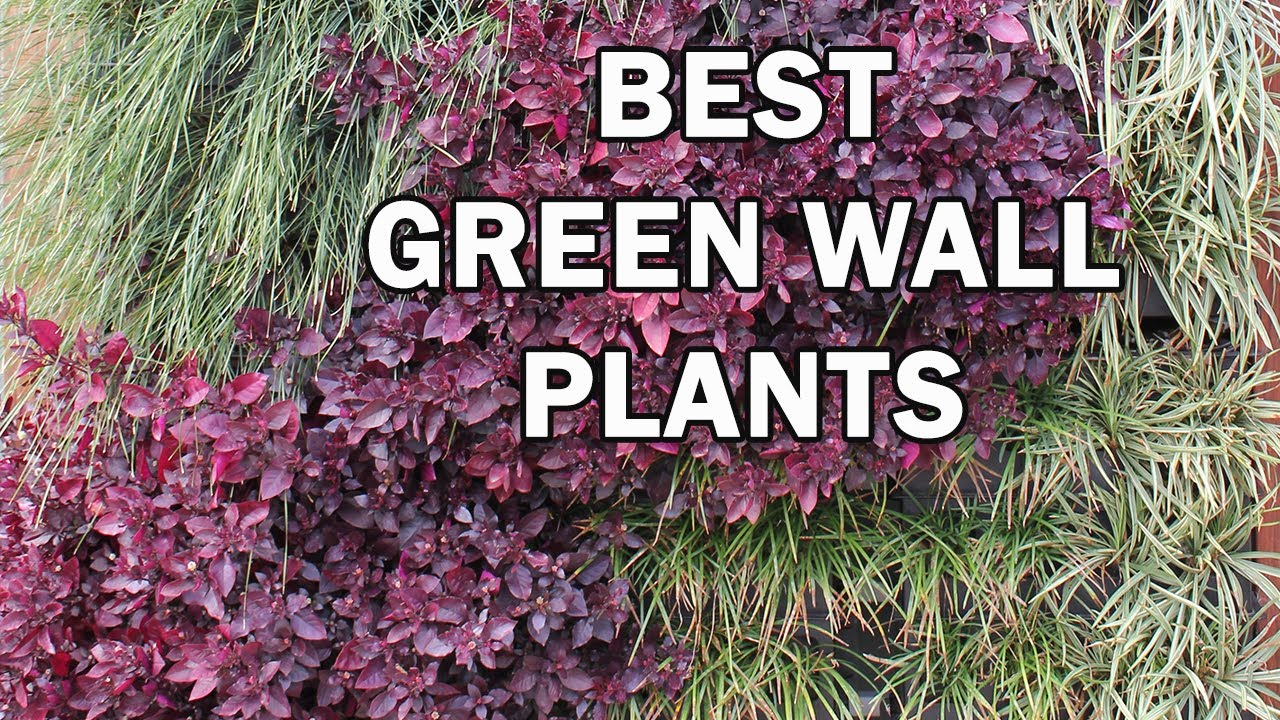 Top 10 Green Wall Plants For Australia   Ozbreed   YouTube