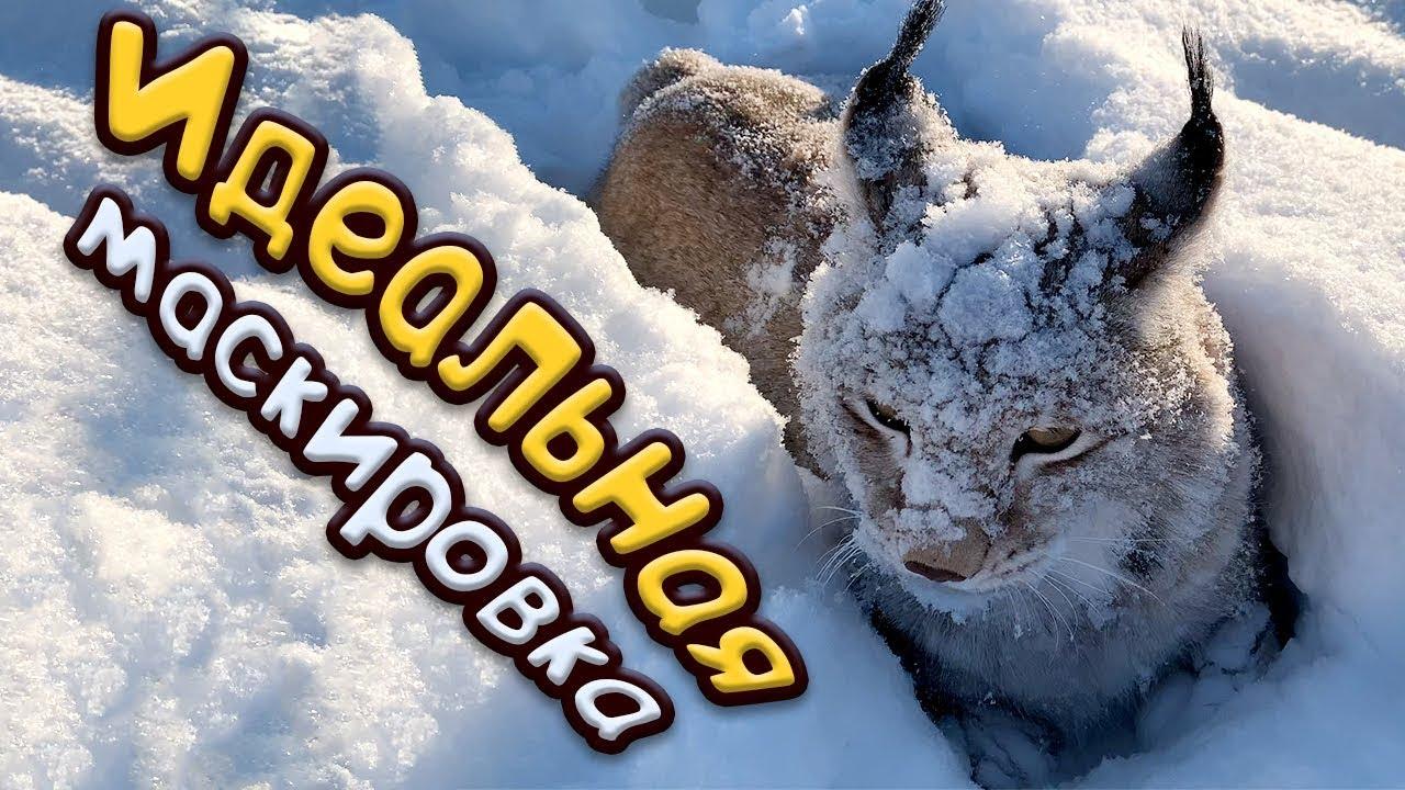 СОБАКА ПОСЛЕ НАПАДЕНИЯ РЫСИ / Умка маскируется в снегу