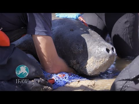 Manatee Rescued off Cape Cod