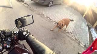 Собака против мотоциклиста