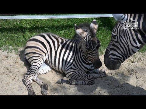 Детеныш зебры в зоопарке «Лимпопо», Нижний Новгород (0+)