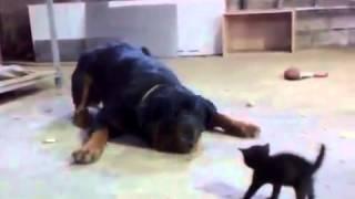 Храбрый котенок стоит против собаки