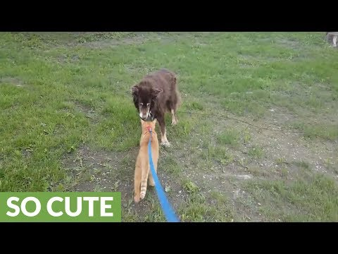 Cat on leash enjoys walk with dogs