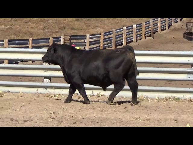 Connealy Angus Lot 184