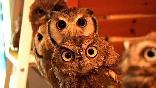Owl cafe in Tokyo - no comment