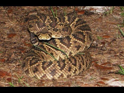 Eastern Diamondback Rattlesnake rattling