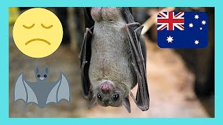 The incredible FRUIT BATS in the centre of Cairns in Australia (Queensland)