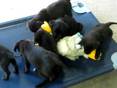 All 6 Golden Retriever Black Lab Mix Puppies Youtube