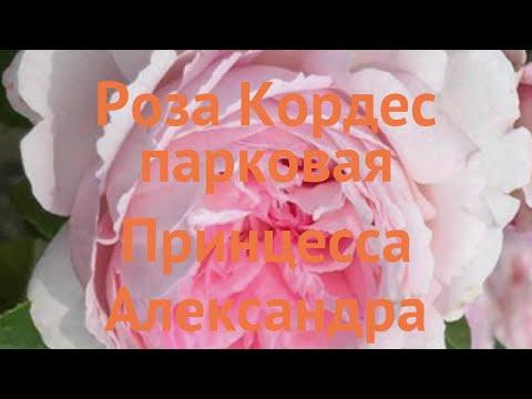 Роза парковая Принцесса Александра Люксембургская 🌿 обзор: как сажать, саженцы розы