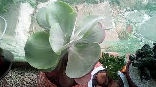 Hoya carnosa( flôr de cêra) como cultivo.