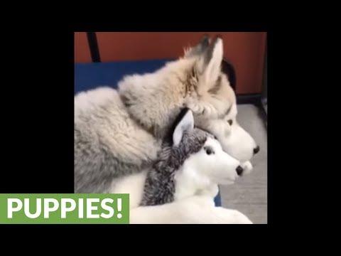 husky-loves-his-stuffed-animal,-treats-it-like-real-puppy