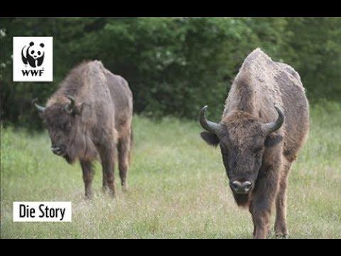 Die Reise der Wisente | Die Story | WWF Deutschland