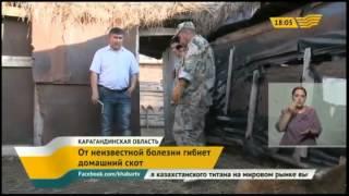 В Карагандинской области от неизвестной болезни гибнет домашний скот