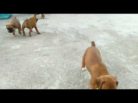 Boxer ही बॉक्सर 101 , puppies, dogs 09999039993, bulldog ,price of boxer  puppy in delhi olx pet shop