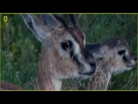 Animal Documentary National Geographic  KILLER FORCES OF TOP PREDATORS