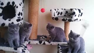 Британские голубые котята, 3 месяца. Купить британского котенка в Минске.