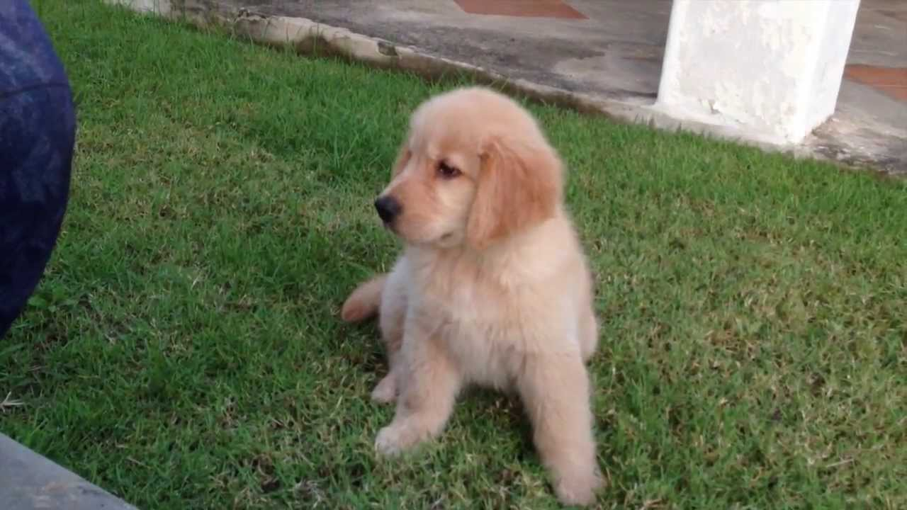 Pics For > Cutest Golden Retriever Puppy In The World