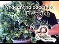 First Job Pyracantha coccinea