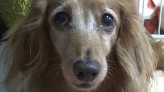 ミニチュアダックスフンド 犬 鳴き声Miniature Dachshund dog barking ...