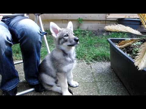 Saarloos Wolfdog Puppy 9 Weeks Youtube