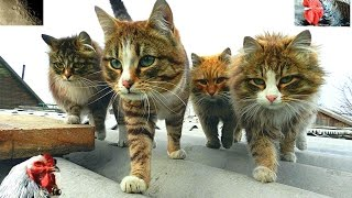 Siberian Farm cat  Mates  Moon  БРАТВА Сибирские кошки Куры и Луна