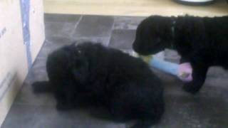 Curly Coated Retriever Puppies.