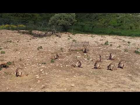 A male bachelor group of Cretan wild goats