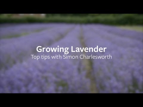 How to grow Lavender | Grow at Home | RHS