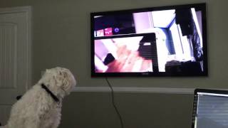 Showing my dog on tv howling at himself at himself and at himself.
