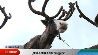 День оленя-2016. Съемочная группа «Севера» побывала на торжествах в СПК «Индига»