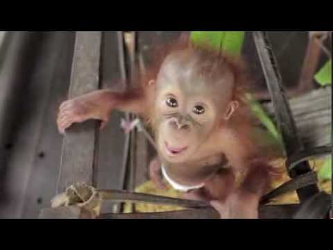 Little Rickina is a baby orangutan that was rescued from a suspected poacher, and is now being cared for at the Ketapang Orangutan Rescue…
