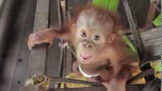 Baby Orangutan Rickina!