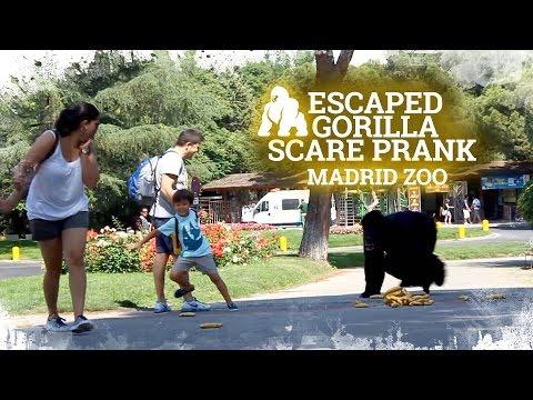 Escaped Gorilla Scare Prank [Madrid Zoo]  | Caméra cachée Gorille échappé