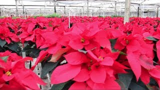 The Poinsettia - The Christmas Flower - Duarte Nursery - Poinsettia Farm