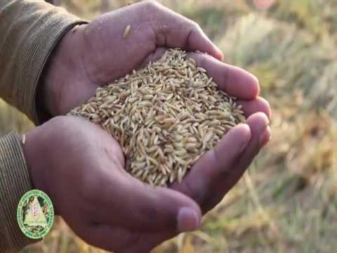 Mechanization of Rice Production- Kannada(Part2) .VOB