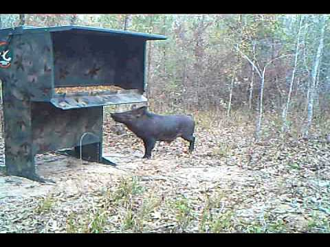 Wild Boar Hog confussed at the Double