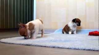 Чихуа щенки - маленькие собачки