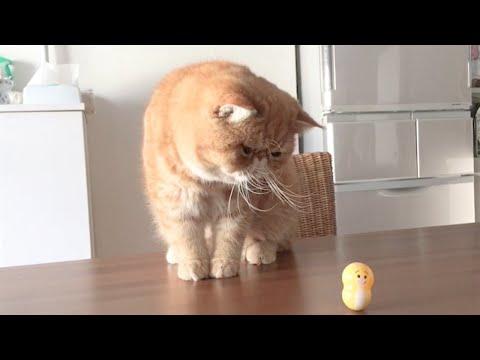 Ideal Companion Exotic Shorthair Cat Cat Breeding Videos Youtube