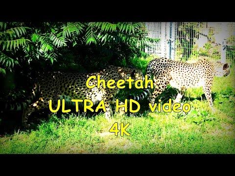 Cheetah Gepard Acinonyx jubatus  - ZOO in Opole - Ultra HD video 4K