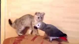 смешные попугаи видео  , попугай и кот , фрагменты