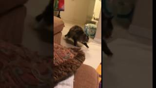 Cat does ninja move on other cat