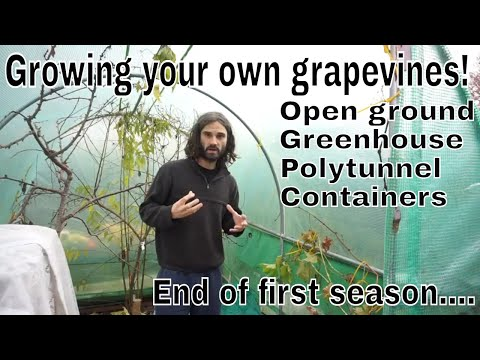 Setting Up A Backyard Vineyard In The UK! End Of First Season....