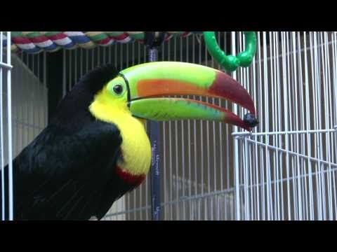 Pogo The Keel-billed Toucan