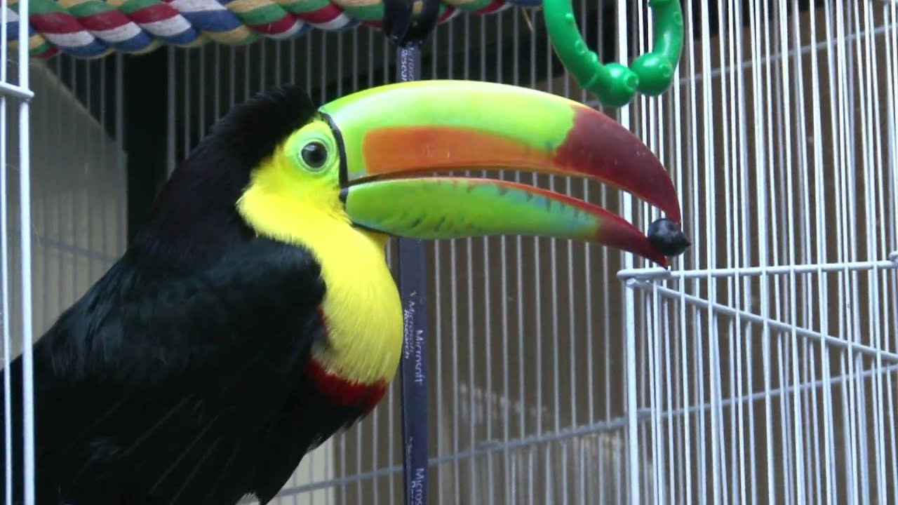 pogo the keel billed toucan youtube