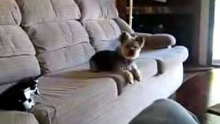 Pinchy Barking On Couch Yorkie Yorky Yorkshire Terrier