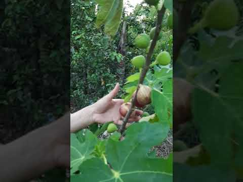 Giới thiệu sung mỹ dưới ngoài đất cho nhiều quả || Technique of growing American fig underground